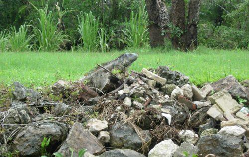 1. Belize - Iguana