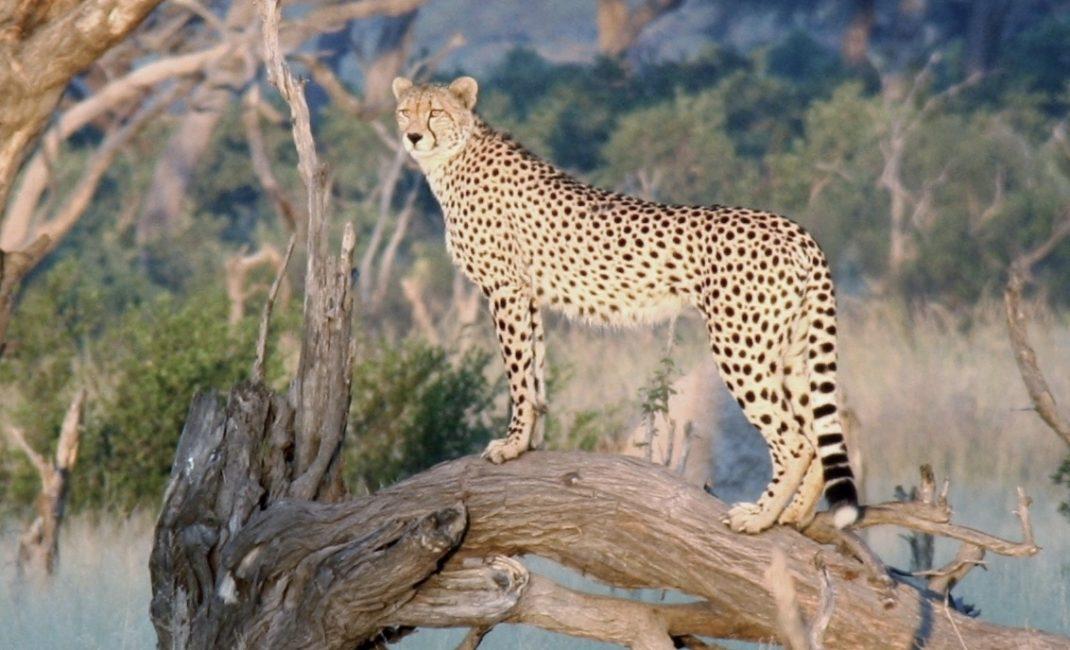 Cheetah in het ochtendzonnetje in Hwange NP