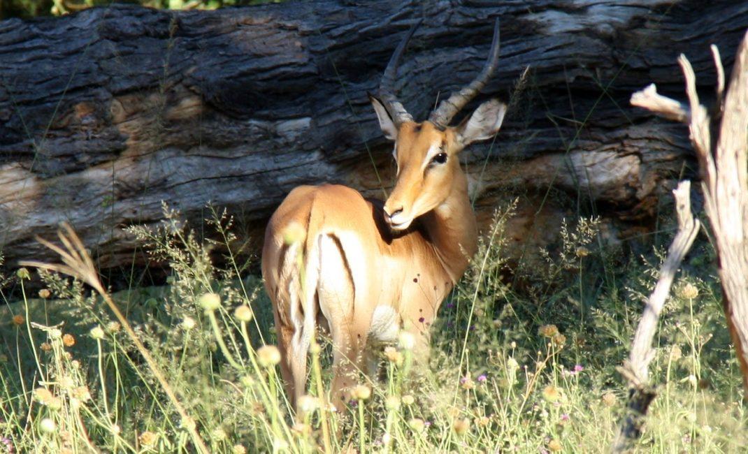 Impala in Hwange NP