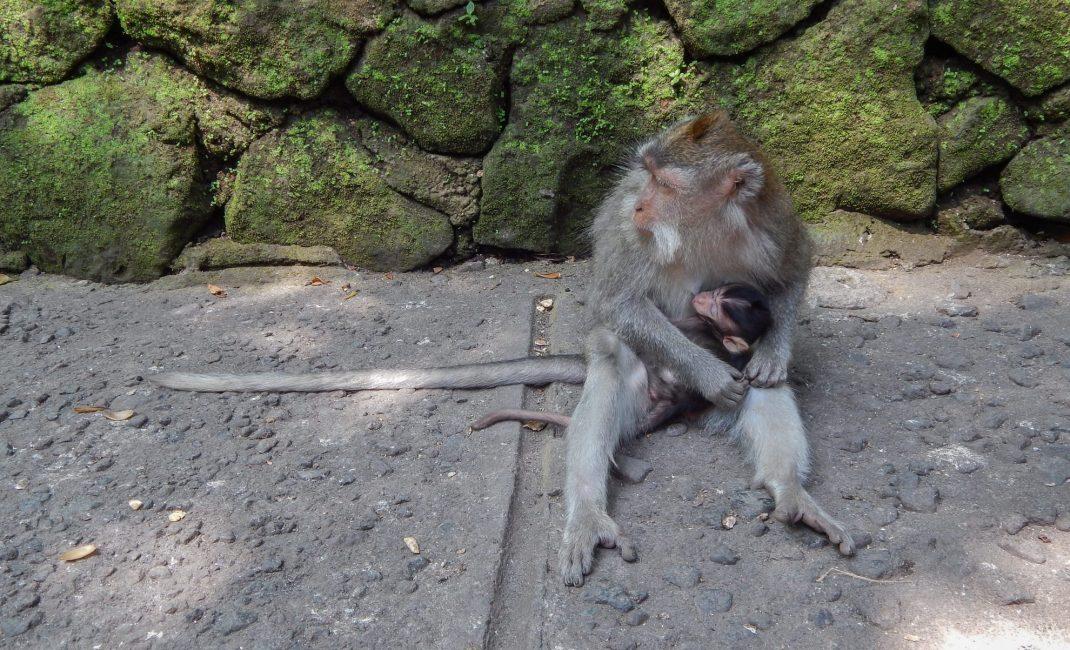 Monkey forest apen, Bali