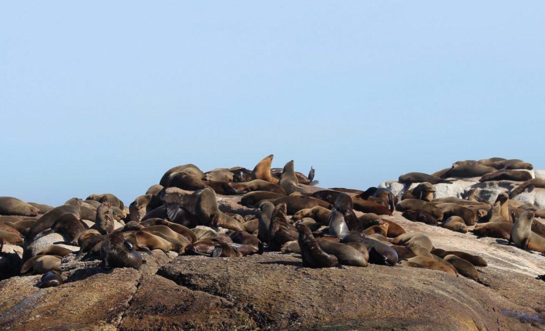 Robben op robbeneiland