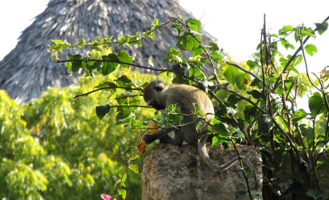 foto 7 aapje, Ukunda