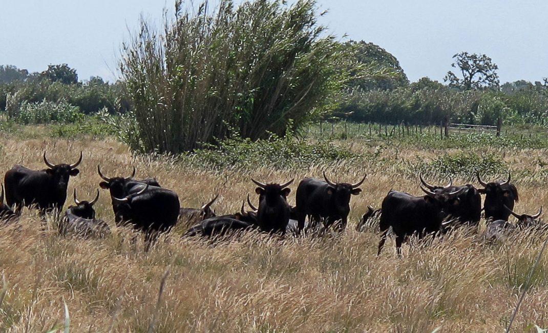 zwarte stieren Camargue